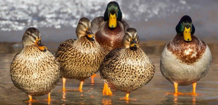 duck-1463317.jpg