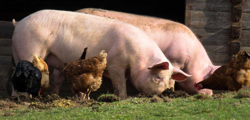pigs-4125935_1920.jpg