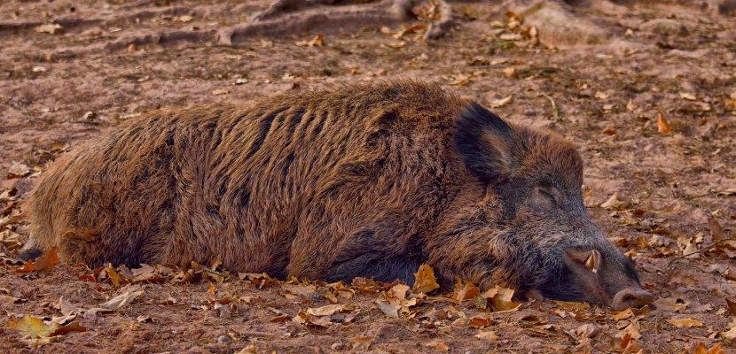 wild-boar-3635108_1920.jpg