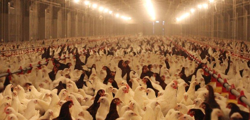 Hühner - Halle - Massentierhaltung.jpg