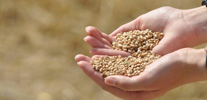 Hände parallel-Weizenkörner.jpg