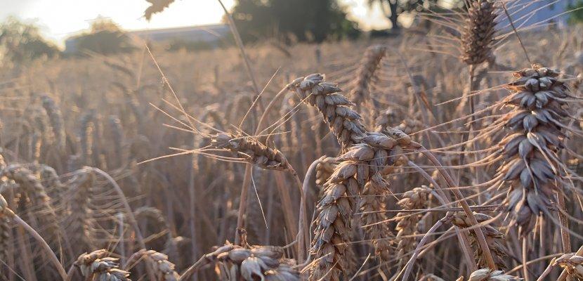Weizenähren_Abendsonne.jpg