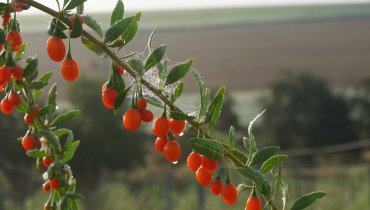 "Goji-Beeren ""made in Germany"""