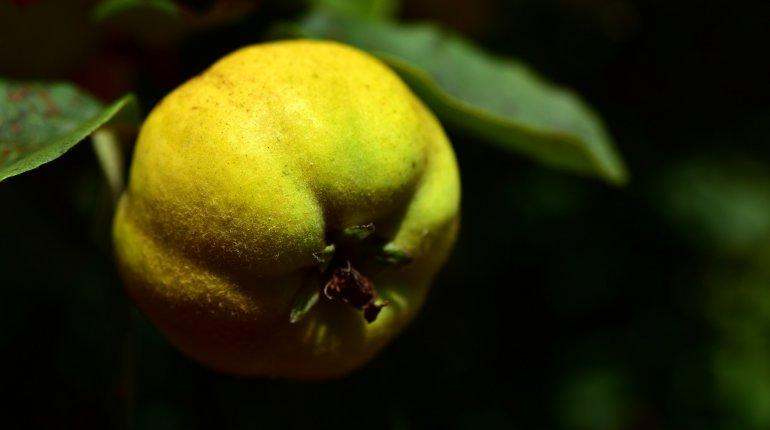 Die Quitte - eine erhaltenswerte Frucht
