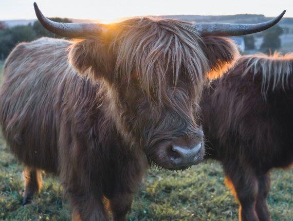 BIO - ENTRECOTE - vom Highland Cattle