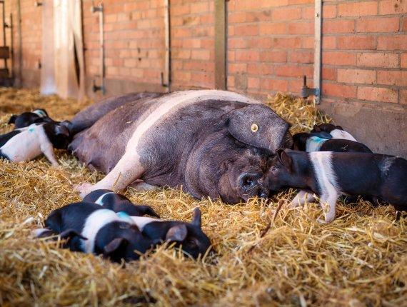Edelsalami vom Angler Sattelschwein